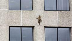 VIDEO: 'Chlupatý spiderman.' Mýval zdolal mrakodrap o 25 poschodích