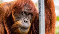 V australské zoo uhynul nejstarší orangutan sumaterský na světě, Puan bylo 62 let
