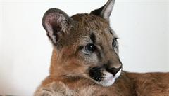 Policisté se zabývají případem pumy, která utekla ze zoo ve Zvoli