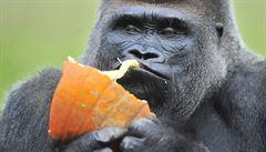 Uhynula slavná Koko. Gorila, která se naučila 'mluvit' s lidmi