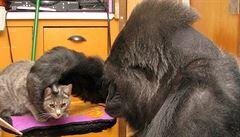Příběh geniální Koko. Opice, která měla IQ jako člověk a byla smutná ze smrti své kočky