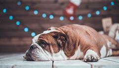 Otylí psi jsou jako otylí lidé, studujme obezitu na nich, říkají vědci