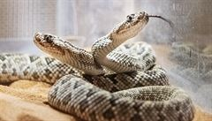V plzeňské zoo mají mláďata dvou vzácných druhů jedovatých hadů