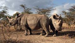 Vědcům z Německa, Itálie a Česka se podařilo vyvinout embryo ohroženého nosorožce severního bílého