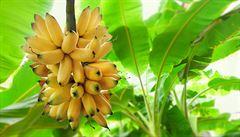 Odolné odrůdy banánovníku je třeba šlechtit, tvrdí expert
