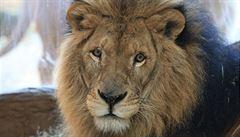 Lva Cecila zabil americký zubař. Ten prý nevěděl, že jde o místní celebritu