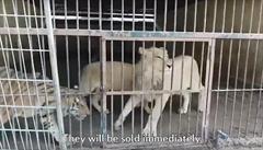 VIDEO: Na Berouska měla kvůli tygrům 'políčeno' i mezinárodní organizace. Zveřejnila tajnou nahrávku