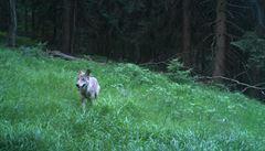 Fotopast v Krkonoších zachytila vlka, zřejmě šlo o 'migranta'