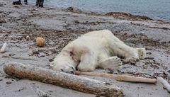 Ochránci turistů zastřelili v sebeobraně ledního medvěda. Společnost čelí kritice