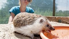 Položte na dvůr či zahradu misku s vodou. Zvířata trpí, žíznivým ježkům chybí žížaly