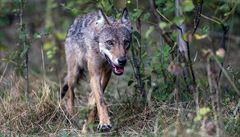 Na Mělnicku byl nalezen zastřelený vlk. Jde o první zdokumentovaný případ nelegálního zabíjení