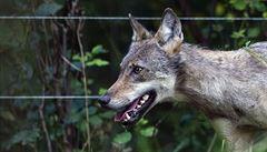 Vlčice chycená v Krkonoších byla kvůli možné vzteklině utracena. Neměla ji