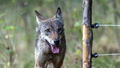 Kvóty na vlky. Myslivci chtějí, aby stát určil únosný počet vlků