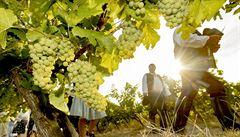 Sucho způsobuje vinicím stres a choroby. Teplo jim však prospívá, hlásí vinaři