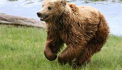 Jak na rozzuřeného medvěda? Zažeňte ho cuketou ze zahrádky