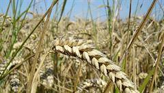 Pšenice v Evropě není odolná vůči změnám klimatu, tvrdí vědci. Sníží se tak její výnosnost