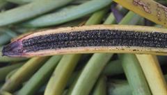 Krvavá vanilka. Farmáři na Madagaskaru brání své plantáže před zloději s mačetou v ruce