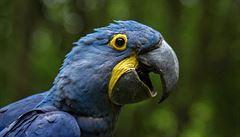 Do zlínské zoo se vrátil poslední uprchlý papoušek. Zoologové ho našli v 50 kilometrů vzdálené obci