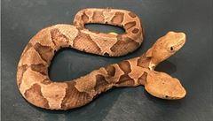 V americké Virginii byl nalezen dvouhlavý had, vědci bojují o jeho přežití