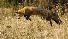Překvapivý objev českých vědců: lišky mají v hlavě kompas
