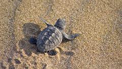 Vyhynutí želv zasáhne negativně ekosystém. V moři je zabíjí plasty