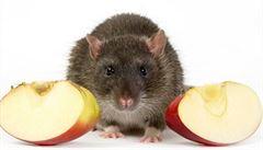 Účastníci reality show snědli krysu. Hrozí jim až tři roky vězení