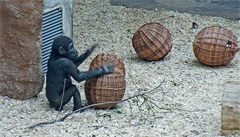 VIDEO: Gorily ze Zoo Praha si nadšeně hrají s proutěnými koulemi