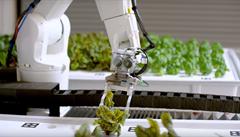 Salát vypěstovaný robotem. V Americe otevřeli farmu, která téměř nepotřebuje lidi