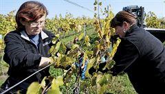 Vinaři přemohli počasí. Letošní ročník bude dobrý i díky slunnému podzimu