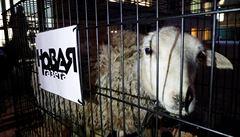 U redakce ruského opozičního listu někdo umístil klece s ovcemi. Na vestách měly nápis Press