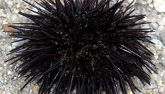 Zeptali jsme se vědců: Jak se jmenuje ježovka, která se v Chorvatsku zabodává lidem do nohou?