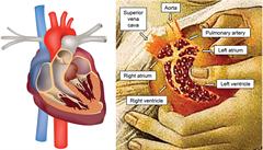 V Botticelliho obrazu je ukryta anatomicky přesná kopie lidského srdce. Zamaskoval ho jako granátové jablko