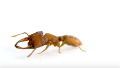 Nejrychlejší pohyb na světě umí druh tropického mravence