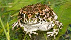 Čeští vědci popsali dva nové druhy žab, jsou kriticky ohroženy