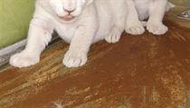 V hodonínské zoo se 13. prosince 2018 narodila mláďata lvů jihoafrických.