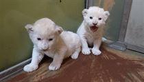 Podle chovatelů se mají čile k světu. Jde o první mláďata tohoto druhu v Zoo...
