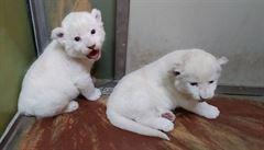 V hodonínské zoo se narodila mláďata lvů jihoafrických, dvě samičky