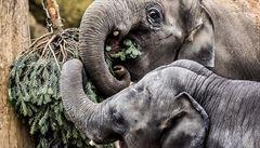 Pražská zoo řeší péči o slony. Ošetřovatelé jsou rozděleni do dvou týmů, navzájem se nestýkají