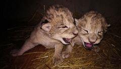 V liberecké zoo uhynula obě mláďata lvů berberských, příčina zatím není jasná