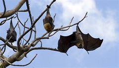 Vědci z Brna náhodou odchytili vzácného netopýra