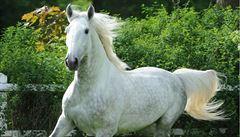 Kostaričtí vědci infikují koně covidem. Protilátky z jejich krve chtějí využívat jako lék