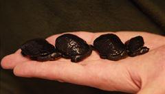 Zoo Brno slaví. Poprvé odchovala kriticky ohrožené želvy