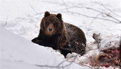 Ochránci chtějí odchytit medvěda v Beskydech. Dostane telemetrický obojek