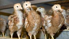 Salmonela ve víc než tuně kuřecích stehen. Veterináři našli další závadné maso z Polska
