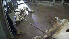 Stovky kilogramů masa z jatek, kde se porážely nemocné krávy, jsou i v Česku. Včetně Prahy