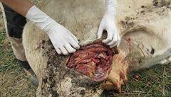 Krávy posekal mačetou. Útočník z Havlíčkobrodska vyvázne bez trestu