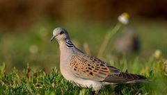 Ptákem roku v Česku je hrdlička divoká, symbol lásky