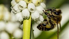 Nahradí jednou technologie včely? Izraelští pěstitelé zkouší opylovat plodiny mechanicky