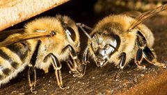 Biologové bijí na poplach. Vymírají nejen včely, ale tisíce hmyzích druhů