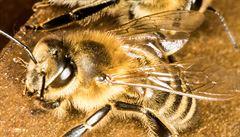 Současné teplé počasí nahrává roztoči, který ničí celá včelstva